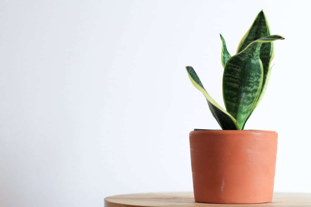 luchtzuiverende plant vrouwentong